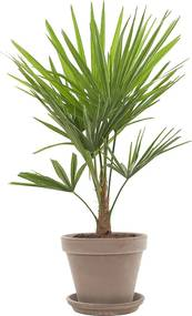 Chinese Hennep palm (Trachycarpus Fortunei) incl. taupe pot